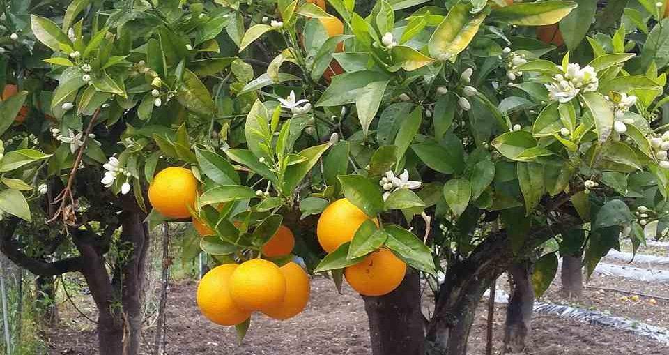arancia calabrese